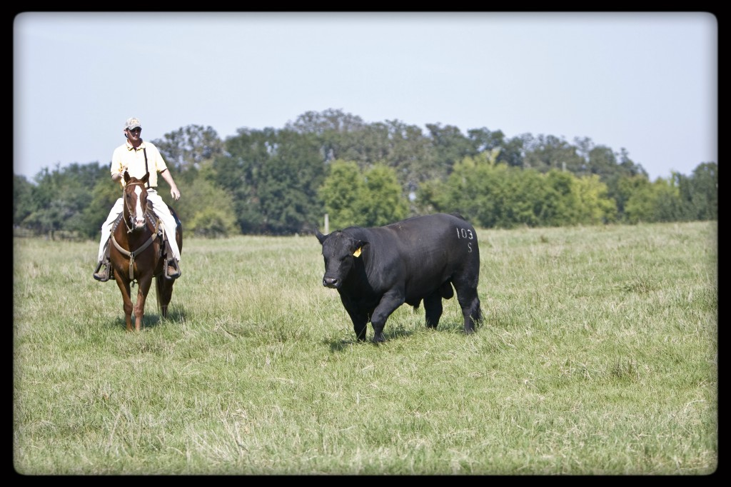 Angus Hybrids CK Cattle