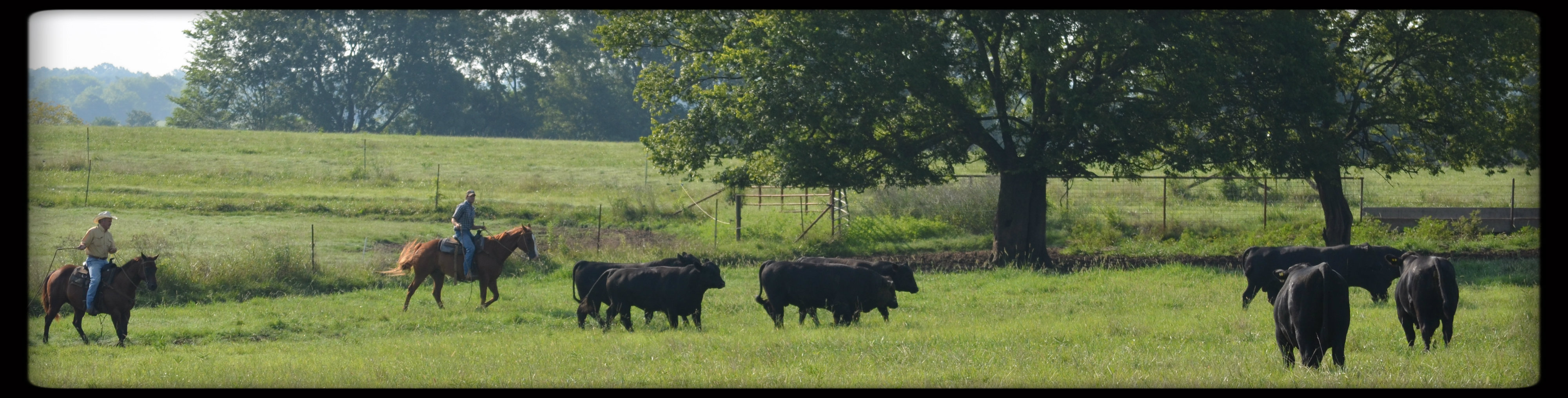 CK Cattle Bulls pic 2