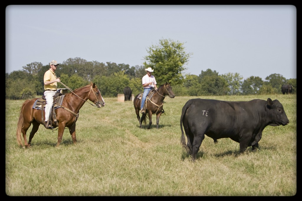 CK Cattle CHIANGUS Bull