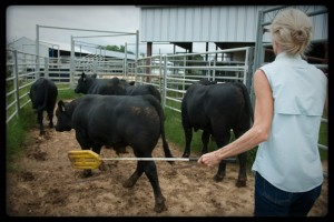 CK Cattle ChiAngus bulls moving