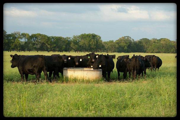 Ck Cattle ChiAngus Females 2